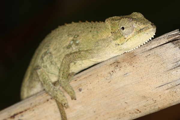The KwaZulu Dwarf Chameleon Bradypodion melanocephalum is widely distributed in KwaZulu-Natal.