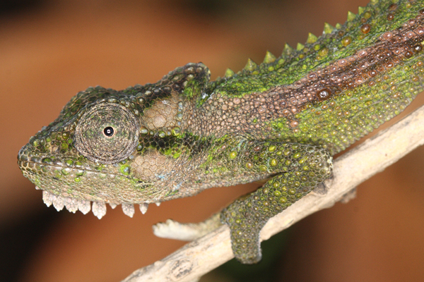 The Qudeni Dwarf Chameleon Bradypodion nemorale from Qudeni Forest in northern KwaZulu-Natal.