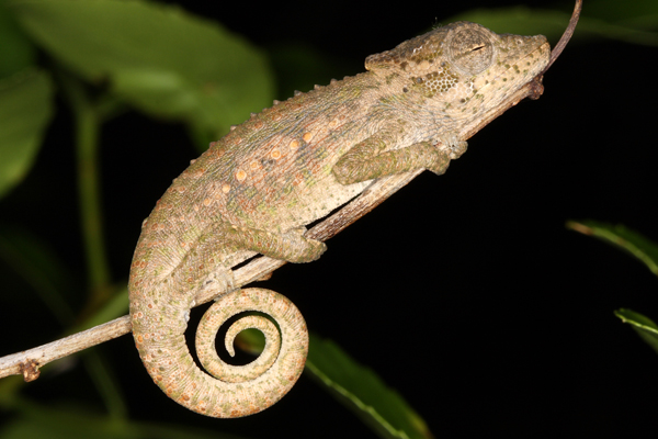 Setaro's Dwarf Chameleon Bradypodion setaroi is found along northern coastal KwaZulu-Natal and extends into southern Mozambique.