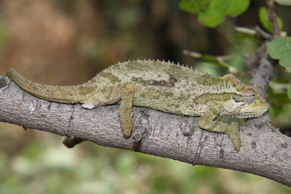 The Northern Dwarf Chameleon Bradypodion transvaalense may contain cryptic species and is found in a patchy distribution from the Soutpansberg south to eSwatini.