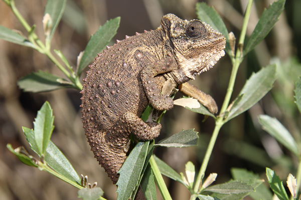 The Eastern Cape Dwarf Chameleon Bradypodion ventrale has been translocated to many different towns outside it's natural range.