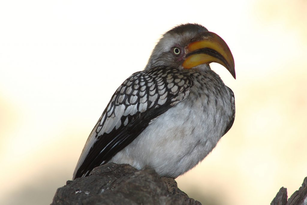 Yellow-billed Hornbill at sunrise. Photo: Warren Schmidt.