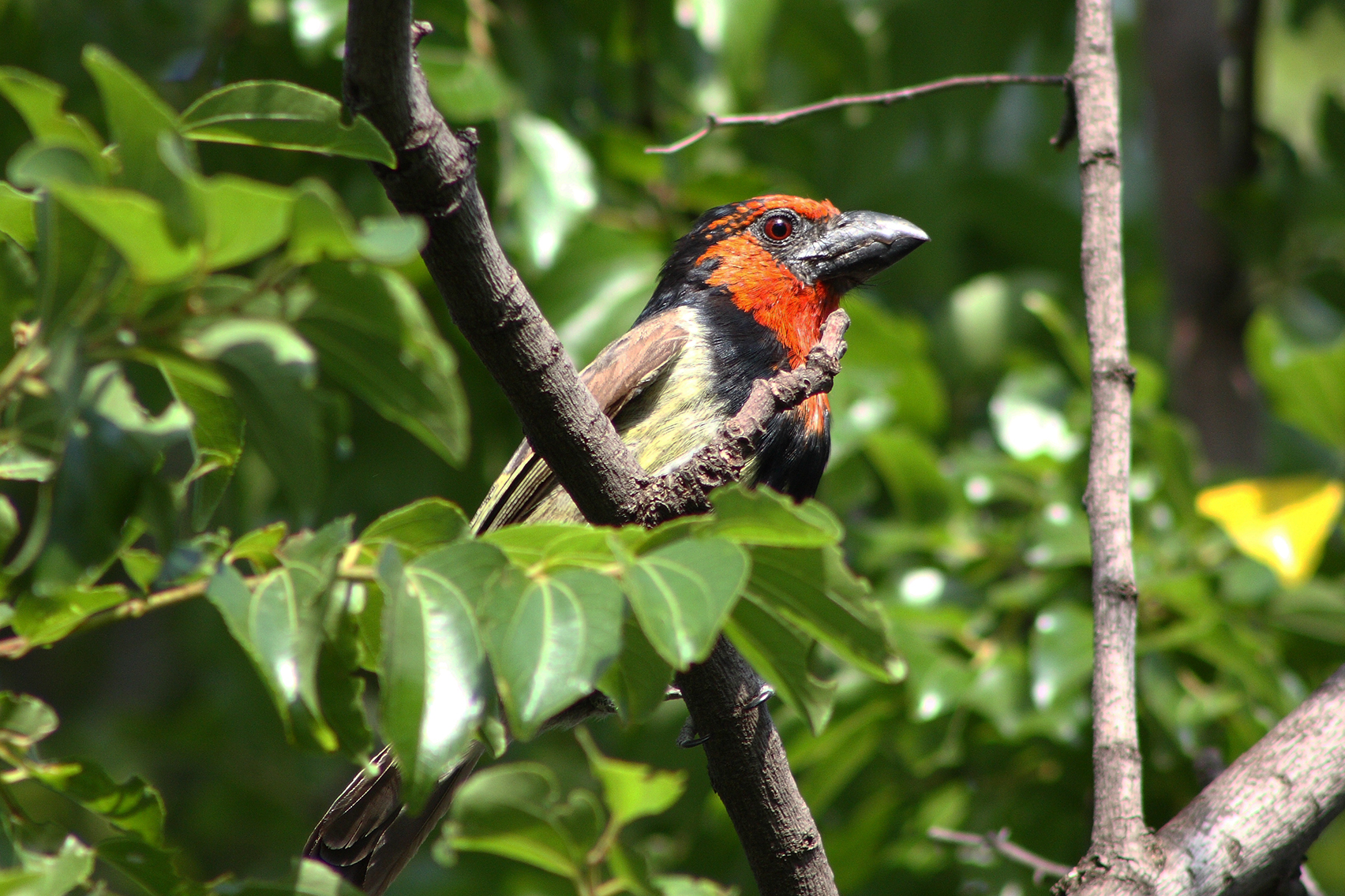 The Black-collared Barbet