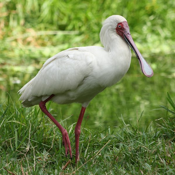 The African Spoonbill