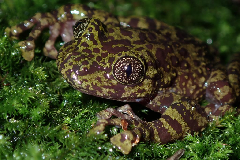 The Table Mountain Ghost Frog Heleophryne rosei is Critically Endangered and only found in a handful of streams on Table Mountain in the Western Cape. Photo: Jeanne Tarrant.