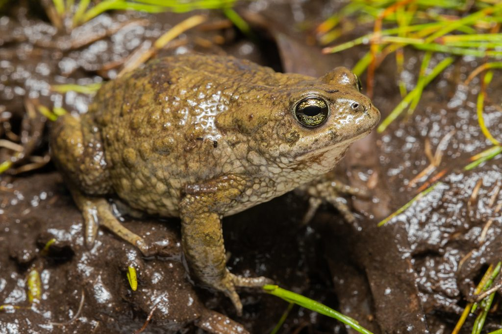 The Amathola Toad Vandijkophrynus amatolicus is a Critically Endangered frog found in the Eastern Cape. Photo: Chad Keates.