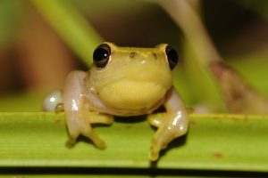 Pickersgill's Reed Frog Hyperolius pickersgilli from KwaZulu-Natal is another threatened frog listed as Endangered. Photo: Jeanne Tarrant/EWT
