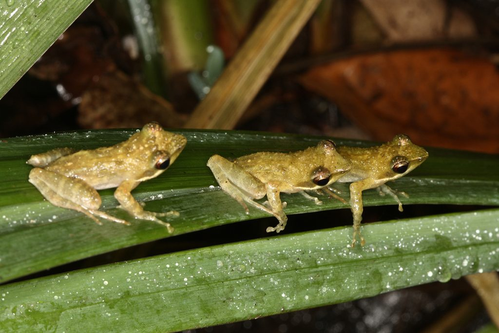 The Kloof Frog Natalobatrachus bonebergi lives in forested Kloofs in KwaZulu-Natal and is listed as Endangered. Photo: Warren Schmidt.